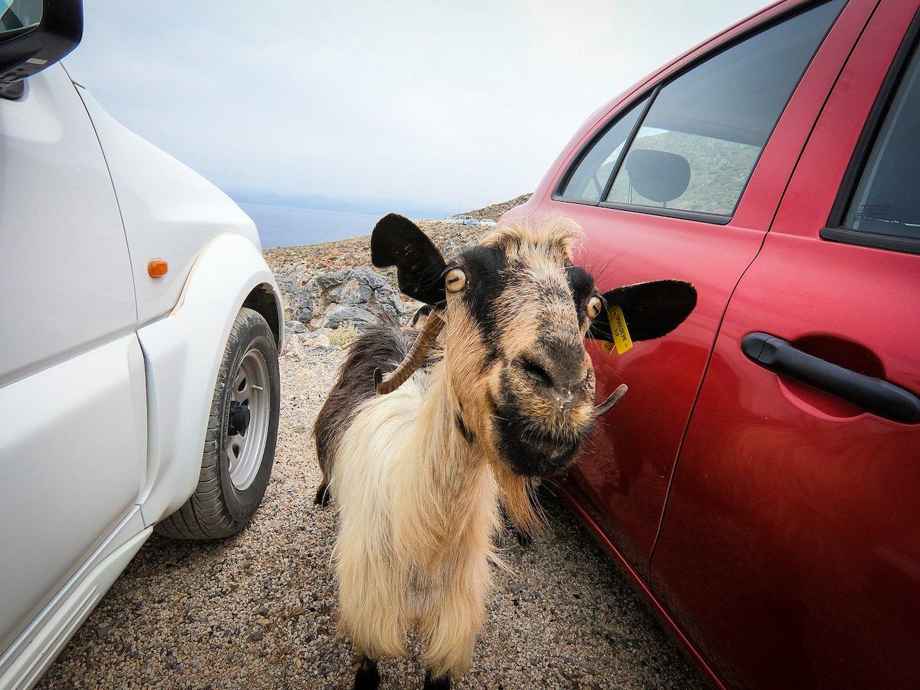 Goats Balos Beach Car Park Crete